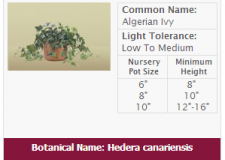 algerian-ivy