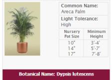 Live Areca Palm Plant