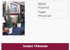 juniper-chinesis