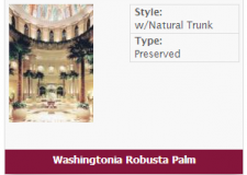 washingtonia-robusta-palm